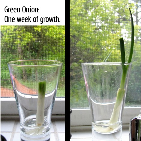 kitchen quick tip onion growing