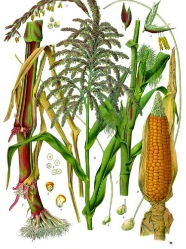 Maize, the original corn. Image Credit: Franz Eugen Kohler.
