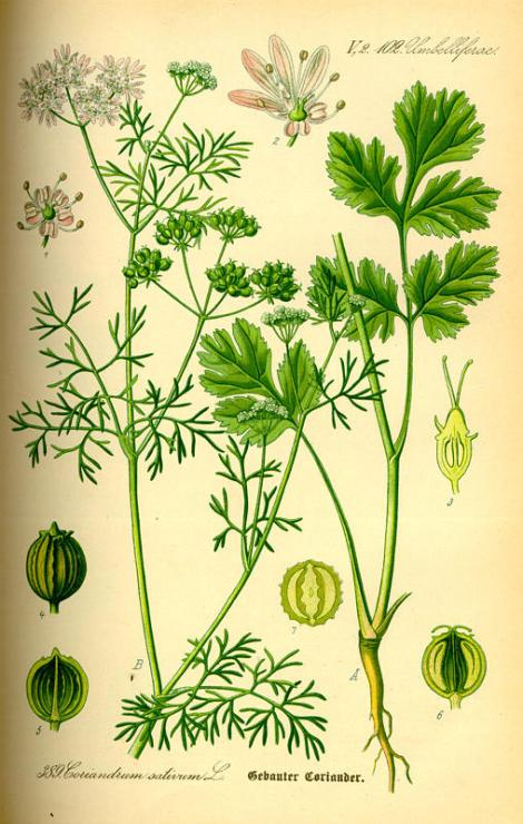 cilantro illustration