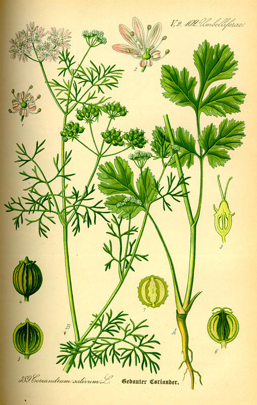 cilantro illustration